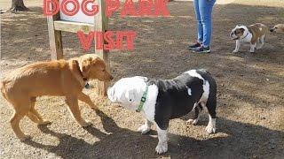 English Bulldog's First Time at a Dog Park