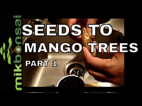 How To Grow Bonsai Mango Trees From Seeds video