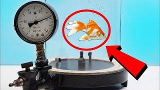 EXPERIMENT: WHAT HAPPENS TO FISH INSIDE THE VACUUM CHAMBER?!?