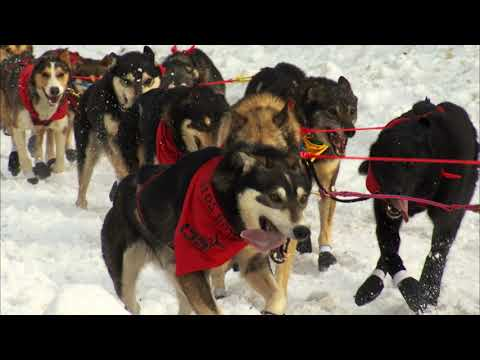 Iditarod 2020 | Starting March 7th | QRILLPAWS 2020