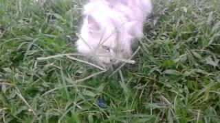 Kucing Persia Bulu Kapas (its mine)