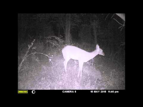 SC Deer Hunting trail cam May 7 to May 21 2015 Feeder crashed to ground
