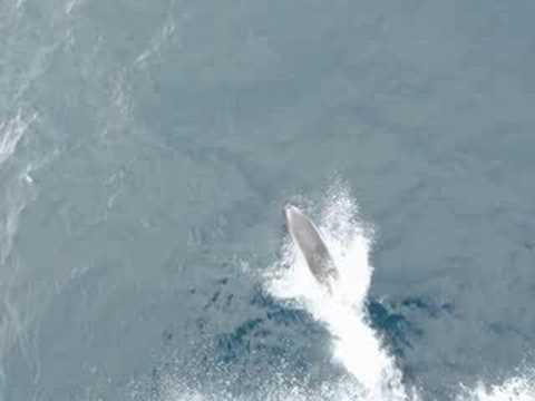 White-beaked dolphins Video