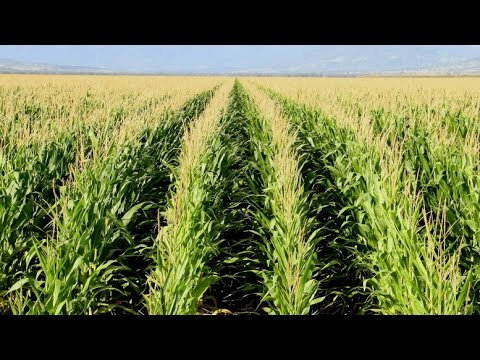 What does CRM stand for in Corn?