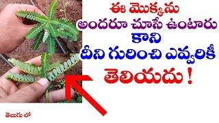 అందరూ ఈ మొక్క గురించి తెలుసుకోవాలి | #Phyllanthus Amarus or Nela Usiri uses#Telugu world Visite