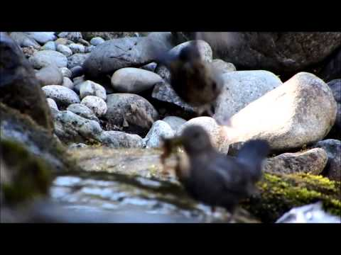 American Dipper on the Skykomish River, Gold Bar, WA 02/28/14