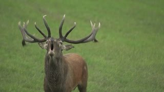 The Magnificent Deer Rutting