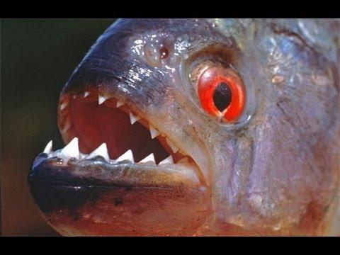 Virtual Piranha Aquarium HD 1