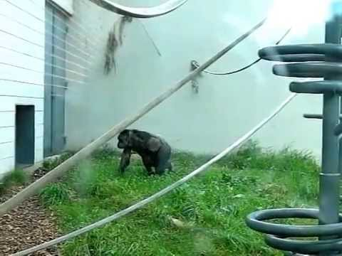 Chimpanzee Locomotion 1