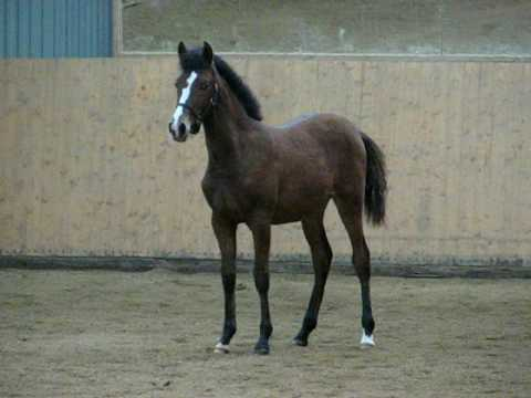Nobleza-G, 7 months old, sire Utrerano VII. He is also the father och ...