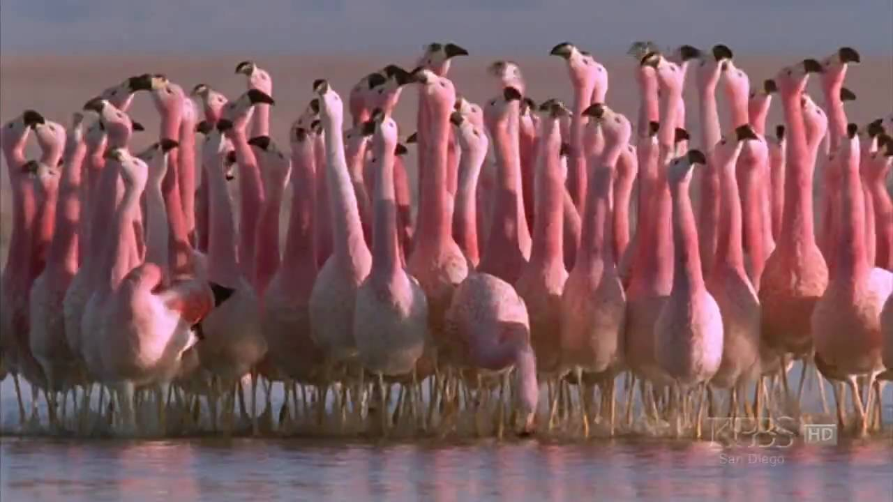 hilarious andean flamingo mating dance nature andes