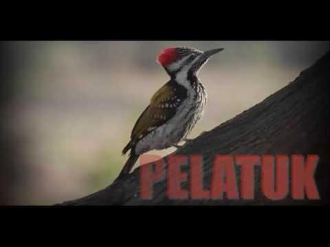 Masteran PELATUK - Rapatnya Suara Burung Pelatuk Bikin Lovebirds Ngekek Panjang