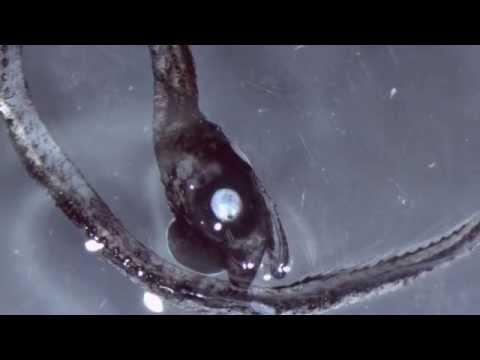 Bizarre fanged 'blackfish' among stranges new species discovered in volcano on ocean floor