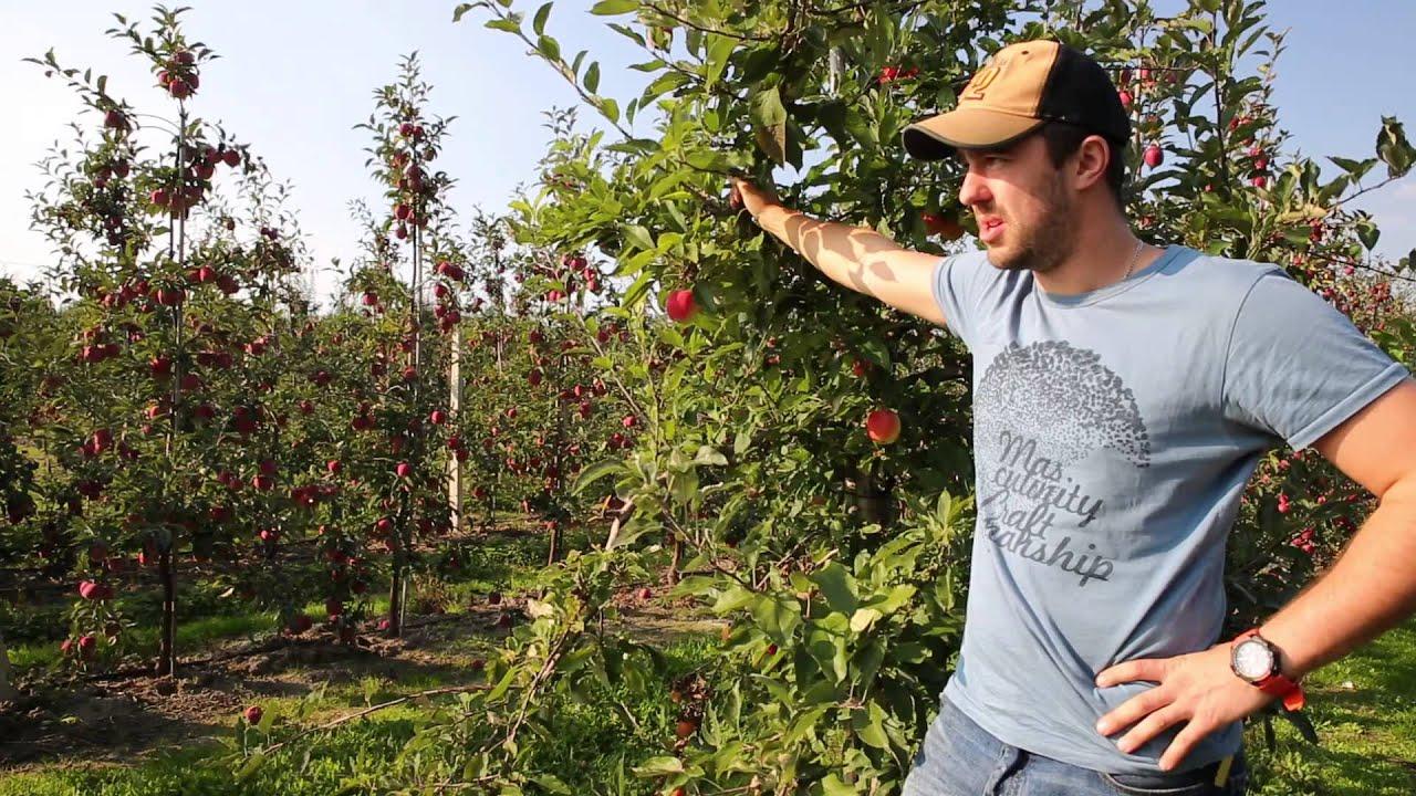 jakość owoców, uprawa jabłek, gloster