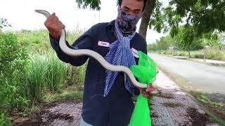 Theo chân '' Ông Thần Rắn '' Võ Minh Phụng thăm bẫy rắn ở đất Sài Gòn MTSN Tập 36