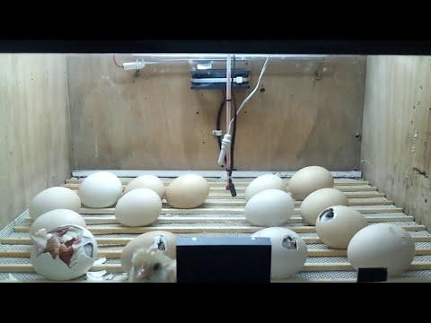 incubadora casera nacimieto de pollitos