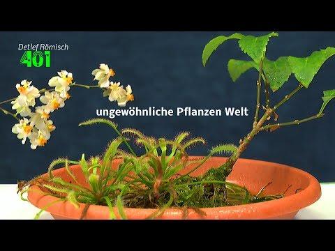 Forsythie und Sonnentau als Wasserpflanze im Haus. Eine merkwürdige Gemeinschaft