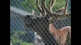 Caught on camera - Elk saves drowning marmot