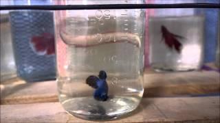 Cách dưỡng cá sung trước khi ép | BETTA COFFY