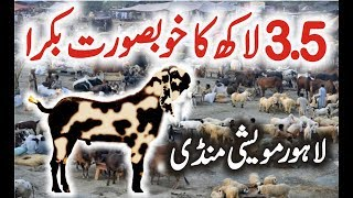 Bakra Mandi Shahpur Lahore 2017 | Latest Episode 5 | Bakra Mandi Video Urdu/Hindi
