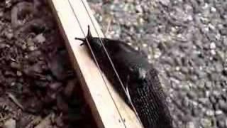 Slug on Electric Fence Part 1