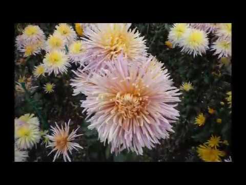 Ялта. Бал хризантем Никитского Ботанического сада 2012.