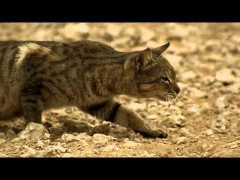 A feral cat hunts birds