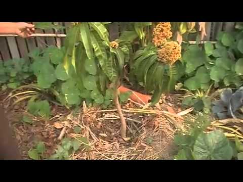 Dwarf Irwin Mango Tree