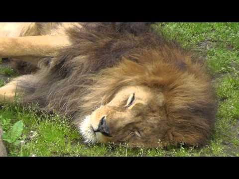 2011年6月12日 旭山動物園 ライオンのライラ