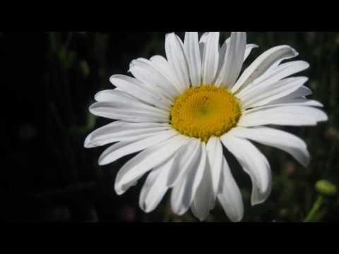 лена василек ромашка белая видео