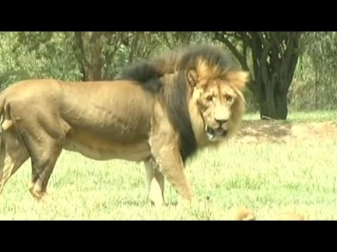 Driver describes lion attack that killed an American tourist