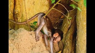 Why baby monkey Stuck and try move out on the tree like this? Baby scare/Wild Monkey