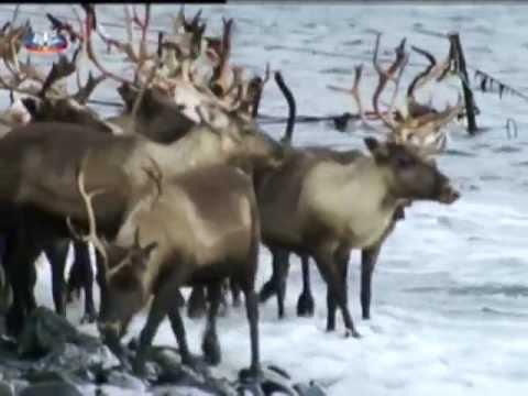 Vida Selvagem  -  A Tundra Artica em Portuguẽs de Camões