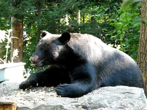 black bear having lunch in west milford nj youtube