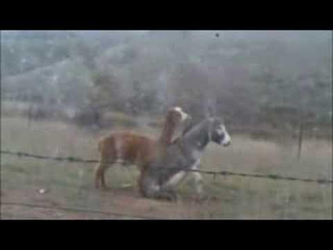 Alpaca does donkey