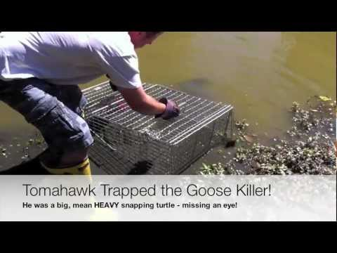 Turtle Trap Review / Killer Snapping Turtle Trapped!