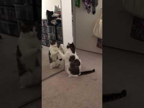 鏡が理解できない猫。最初は手で動きを確認しているが次第に・・ダンス!?