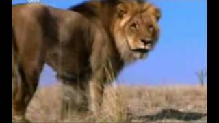 The (real) Lion King part 1