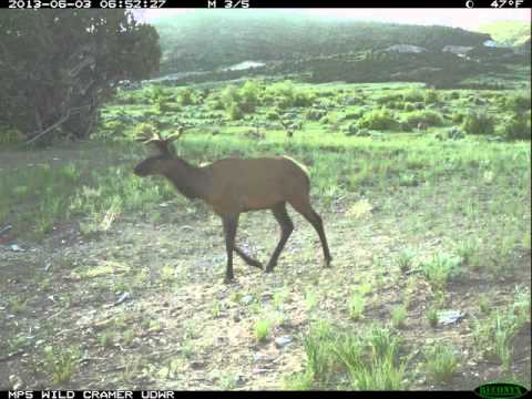Mule Deer Teaching Elk To Use A Wildlife Crossing Structure