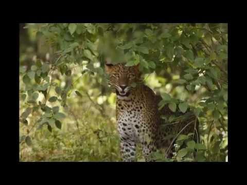 Yala Safari Sri Lanka-  Leopard