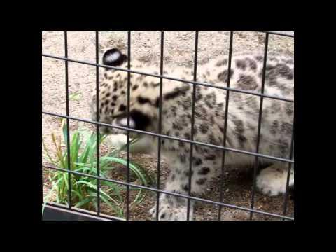 草で遊ぶ ユキヒョウの赤ちゃん Snow Leopard 円山動物園
