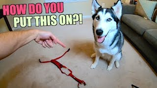 How To Properly Put Your Husky In A Harness!