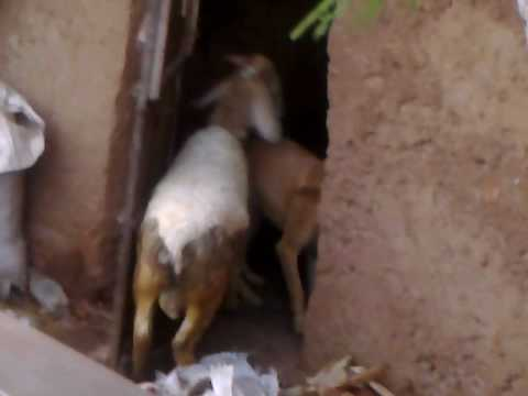 Amazing......sheep Mating With A  Dog.mp4 video
