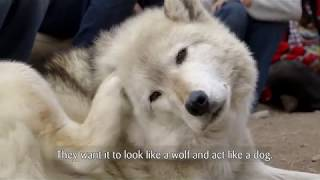 A Sanctuary Offers A Last Resort For Abandoned Wolf-Dogs
