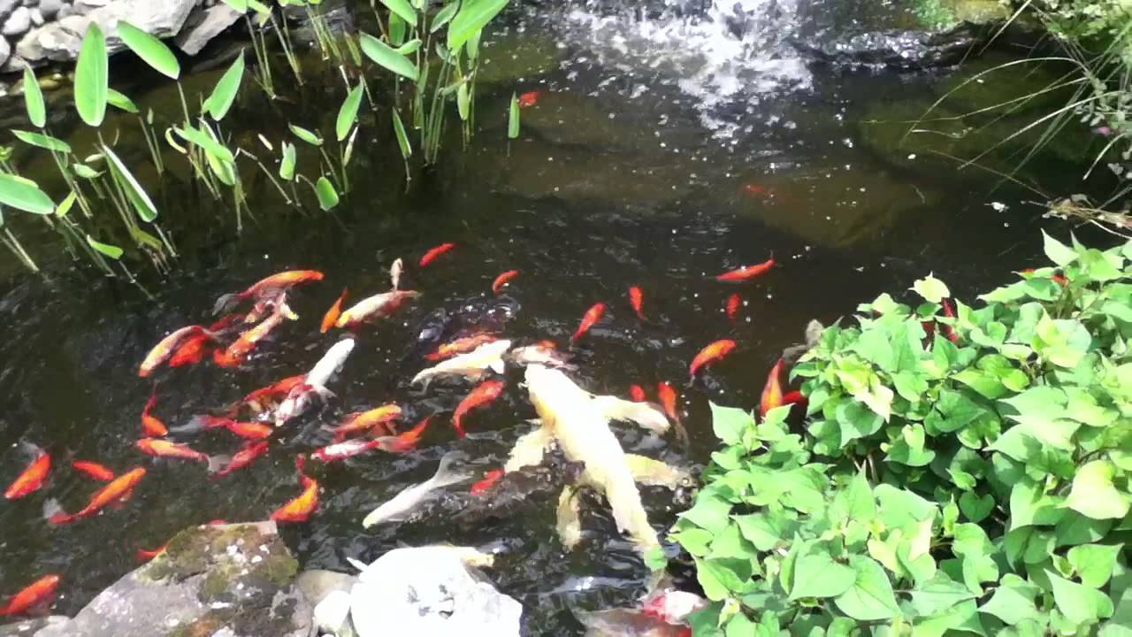 Feeding my goldfish and koi in my backyard garden pond How to build a goldfish pond