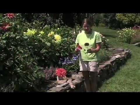 Dahlia Flower Bulbs Plant Dahlia Flowers From