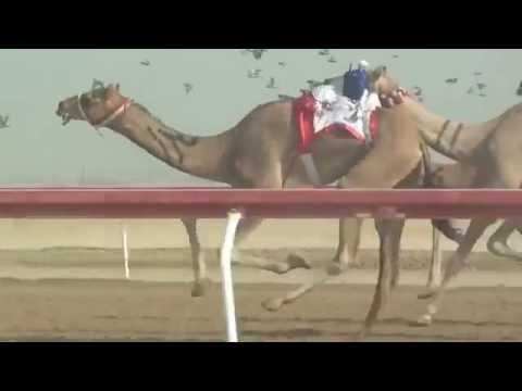 Camel Racing with ROBOT JOCKEYS    Abu Dhabi, UAE   YouTube