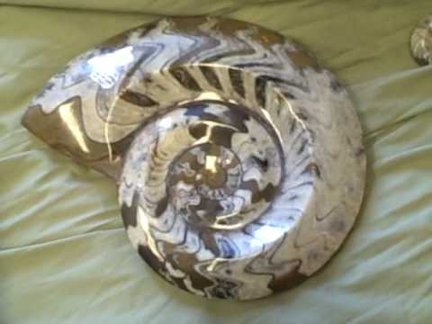 Matthew's ammonites from morocco Video