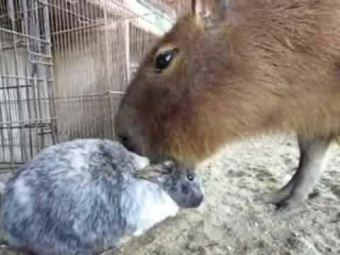 Capybara Sucks on Bunny's Ears Fetish FAIL thumbnail