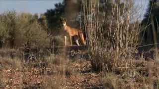 Dingo: Wild Dog At War